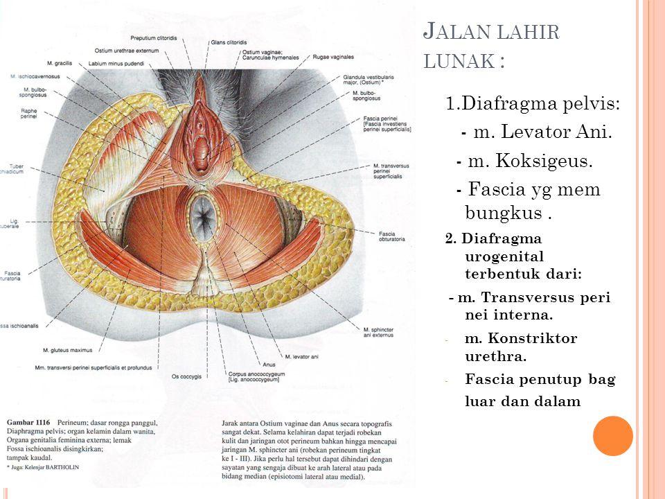 J ALAN LAHIR LUNAK : 1.Diafragma pelvis: - m. Levator Ani. - m. Koksigeus. - Fascia yg mem bungkus. 2. Diafragma urogenital terbentuk dari: - m. Trans