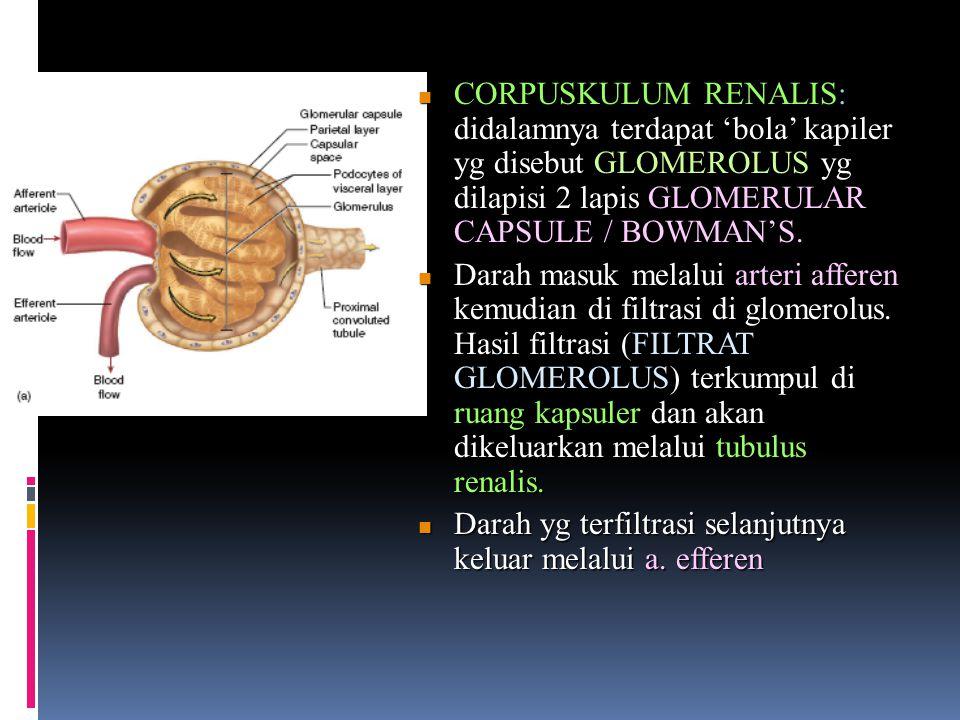 CORPUSKULUM RENALIS: didalamnya terdapat 'bola' kapiler yg disebut GLOMEROLUS yg dilapisi 2 lapis GLOMERULAR CAPSULE / BOWMAN'S. CORPUSKULUM RENALIS: