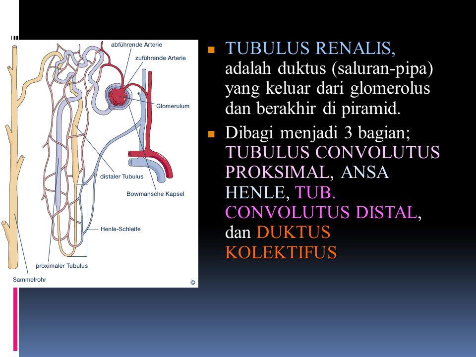 TUBULUS RENALIS, adalah duktus (saluran-pipa) yang keluar dari glomerolus dan berakhir di piramid. TUBULUS RENALIS, adalah duktus (saluran-pipa) yang