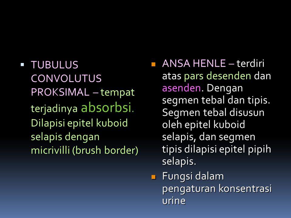 ANSA HENLE – terdiri atas pars desenden dan asenden. Dengan segmen tebal dan tipis. Segmen tebal disusun oleh epitel kuboid selapis, dan segmen tipis