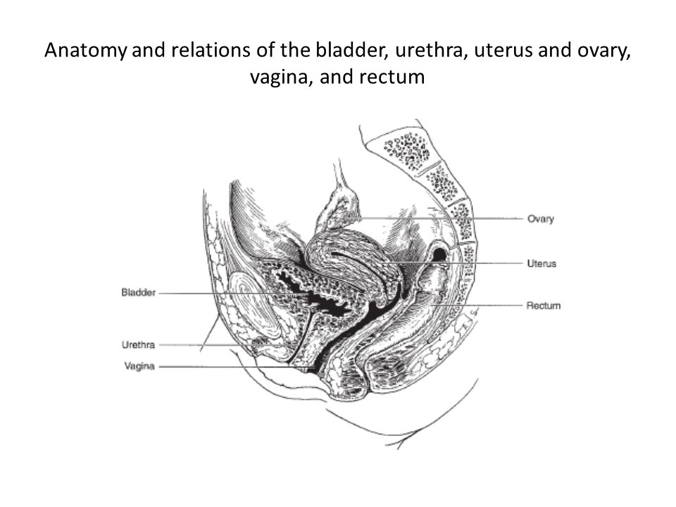 Anatomy and relations of the bladder, urethra, uterus and ovary, vagina, and rectum