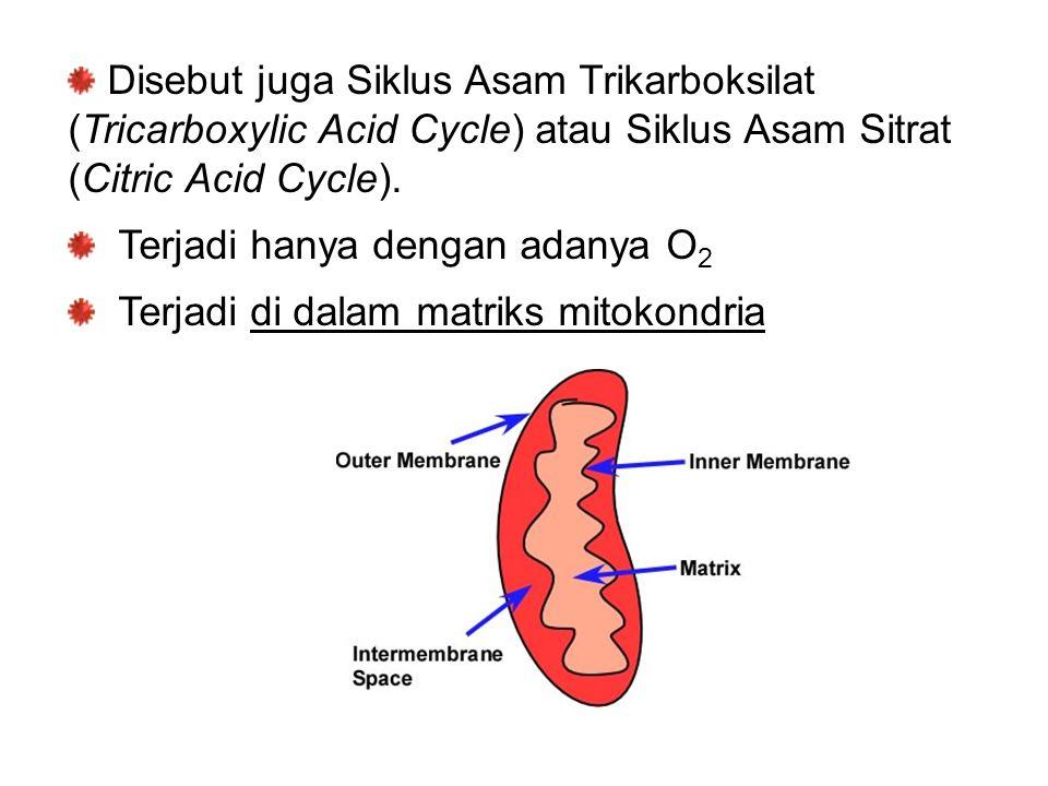 Disebut juga Siklus Asam Trikarboksilat (Tricarboxylic Acid Cycle) atau Siklus Asam Sitrat (Citric Acid Cycle). Terjadi hanya dengan adanya O 2 Terjad