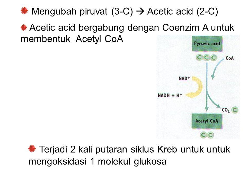 Mengubah piruvat (3-C)  Acetic acid (2-C) Acetic acid bergabung dengan Coenzim A untuk membentuk Acetyl CoA Terjadi 2 kali putaran siklus Kreb untuk