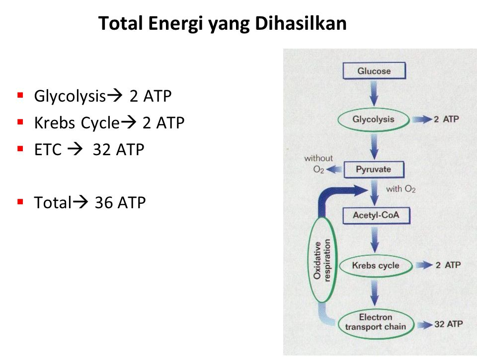 Total Energi yang Dihasilkan  Glycolysis  2 ATP  Krebs Cycle  2 ATP  ETC  32 ATP  Total  36 ATP