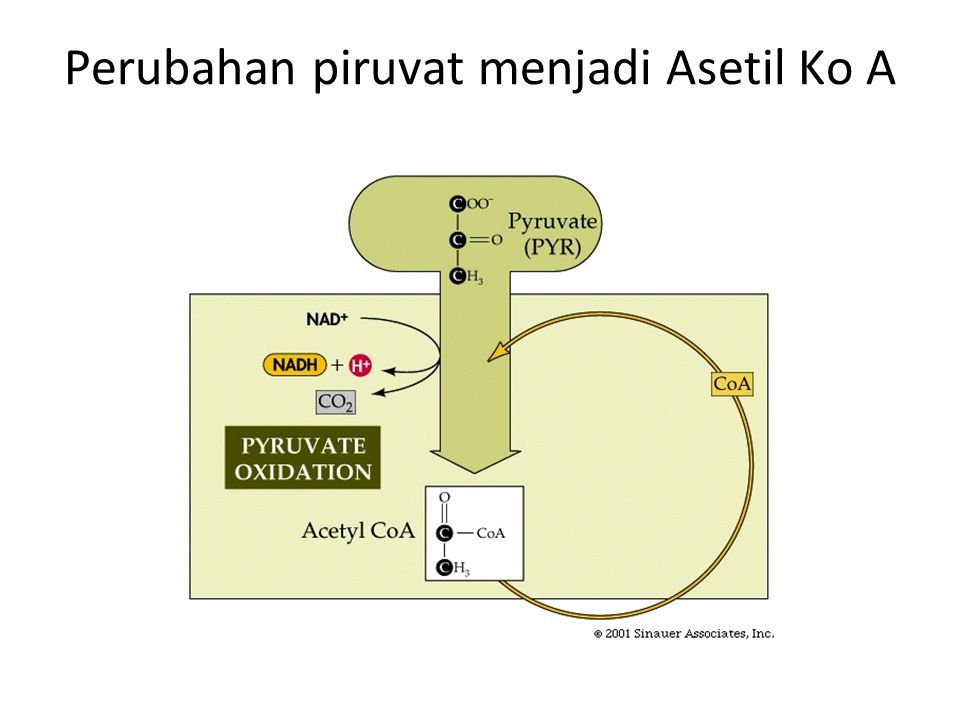 Kesimpulan In :  Glucose (6-C)  2 ATP Out :  2 pyruvate; 2(3-C)  2NADH  a net of 2 ATP
