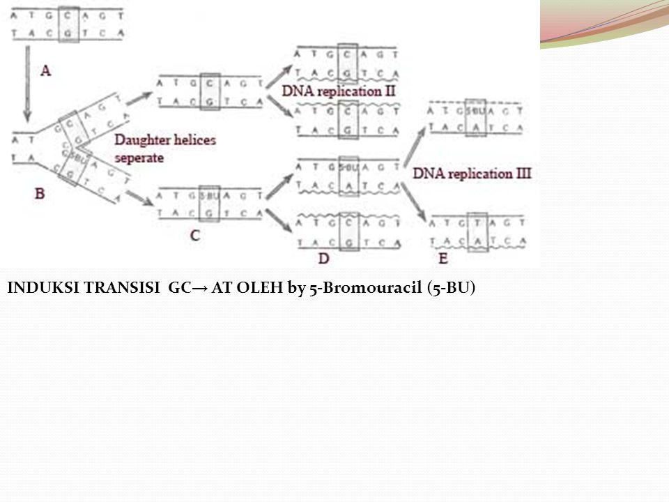 INDUKSI TRANSISI GC → AT OLEH by 5-Bromouracil (5-BU)