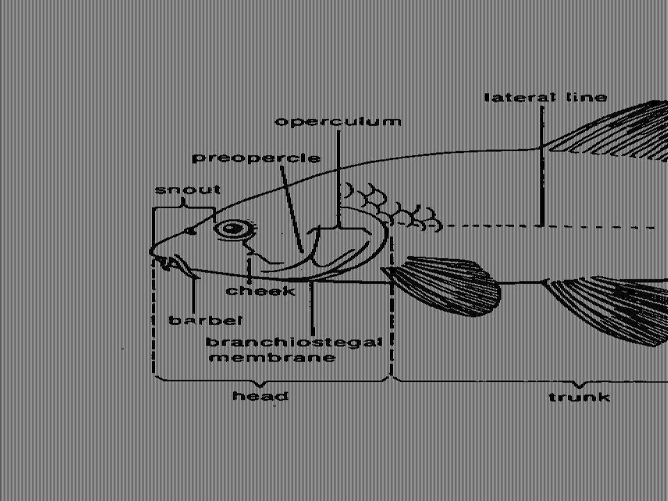 Bentuk Tubuh Ikan Kepala – Tubuh - Ekor a.Simetris bilateral b.