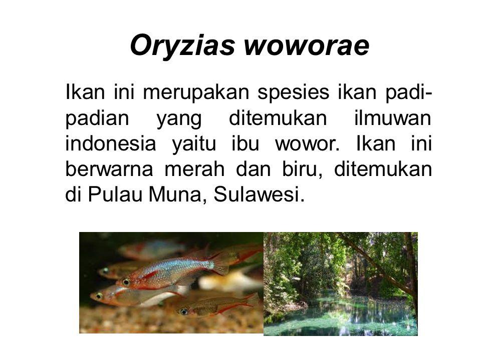 Oryzias woworae Ikan ini merupakan spesies ikan padi- padian yang ditemukan ilmuwan indonesia yaitu ibu wowor. Ikan ini berwarna merah dan biru, ditem