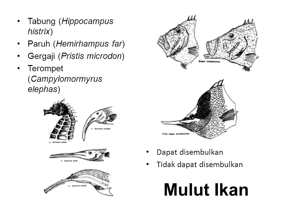 Tabung (Hippocampus histrix) Paruh (Hemirhampus far) Gergaji (Pristis microdon) Terompet (Campylomormyrus elephas) Dapat disembulkan Tidak dapat disembulkan Mulut Ikan