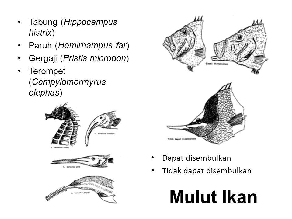 Tabung (Hippocampus histrix) Paruh (Hemirhampus far) Gergaji (Pristis microdon) Terompet (Campylomormyrus elephas) Dapat disembulkan Tidak dapat disem