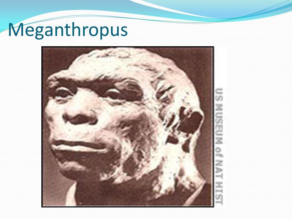 Meganthropus