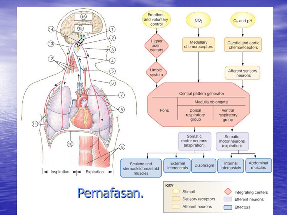 Otot-otot pernafasan intercostal disyarafi oleh: Th 1-7.
