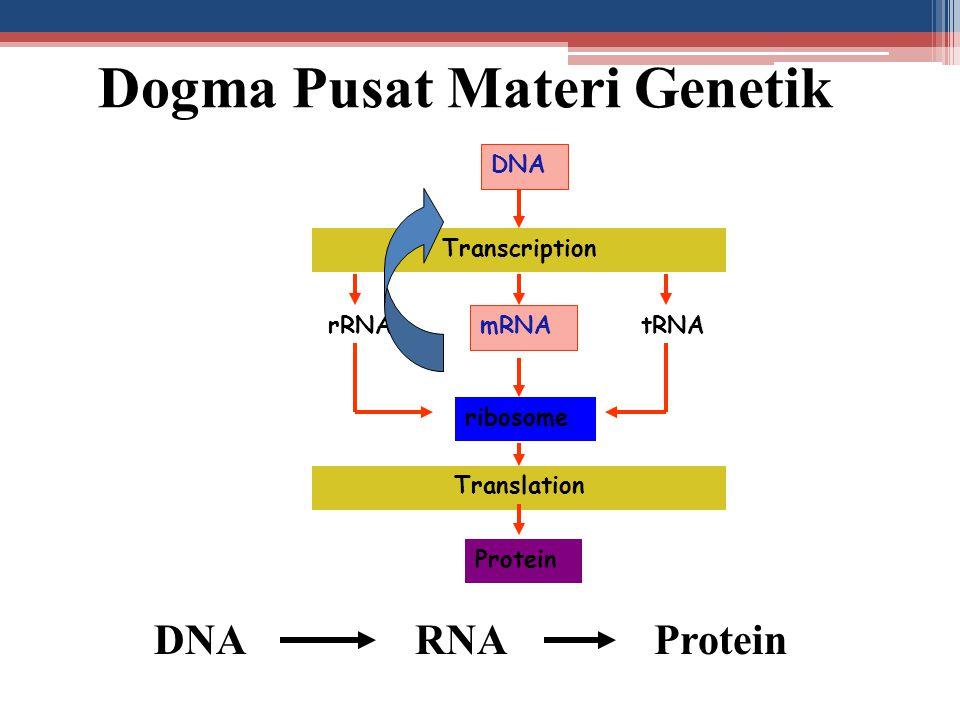 DNA Transcription mRNA rRNAtRNA ribosome Translation Protein DNA RNA Protein Dogma Pusat Materi Genetik