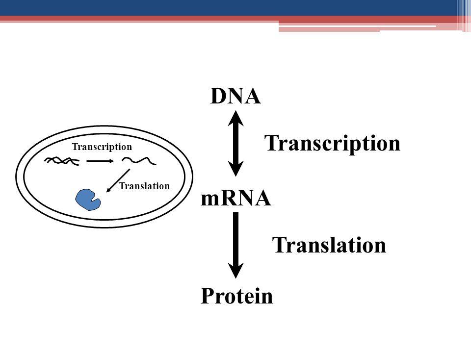 DNA mRNA Protein Transcription Translation Transcription Translation