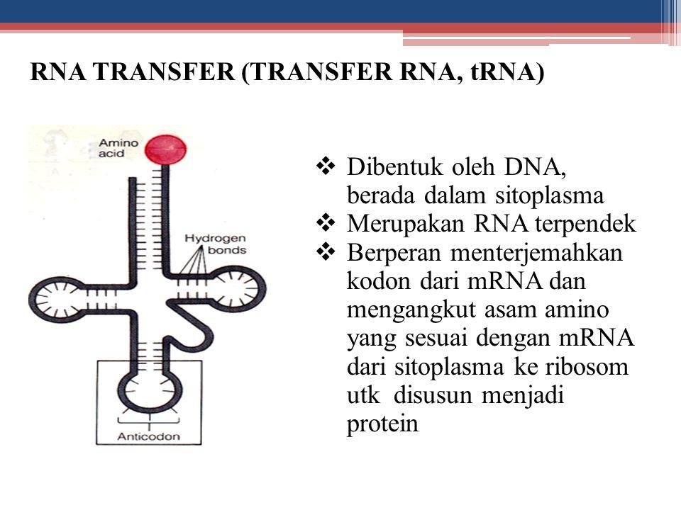 RNA TRANSFER (TRANSFER RNA, tRNA)  Dibentuk oleh DNA, berada dalam sitoplasma  Merupakan RNA terpendek  Berperan menterjemahkan kodon dari mRNA dan
