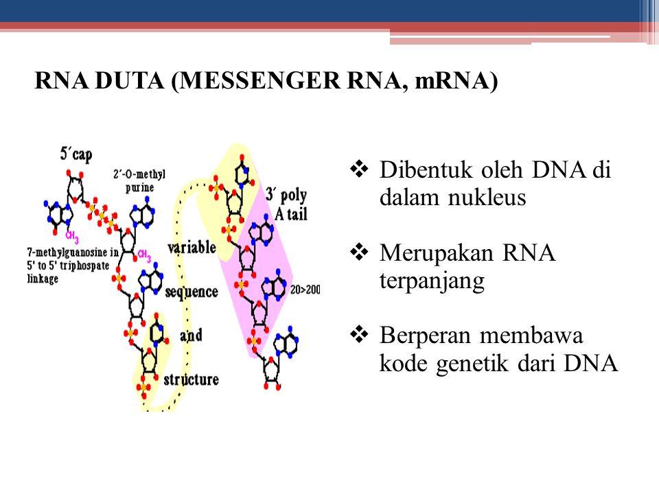RNA DUTA (MESSENGER RNA, mRNA)  Dibentuk oleh DNA di dalam nukleus  Merupakan RNA terpanjang  Berperan membawa kode genetik dari DNA