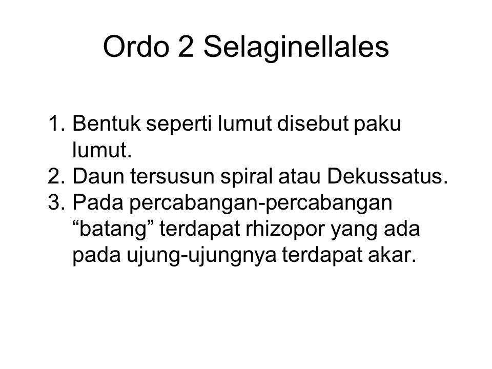 """Ordo 2 Selaginellales 1. Bentuk seperti lumut disebut paku lumut. 2. Daun tersusun spiral atau Dekussatus. 3. Pada percabangan-percabangan """"batang"""" te"""