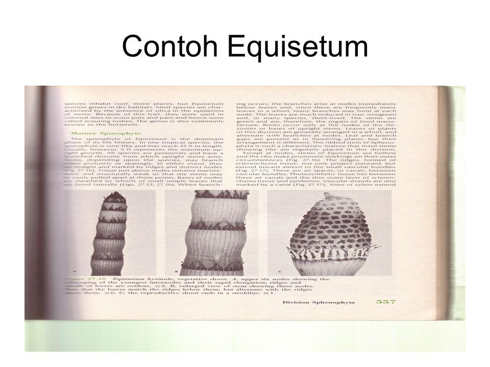 Contoh Equisetum