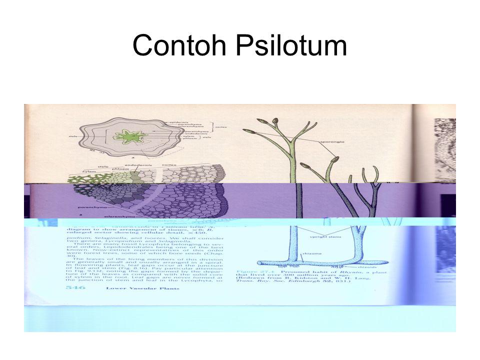 Lanjutan… Sorus : -Marginal -Berindusium -Jumlah spora dalam sporangium bervariasi ( 32 pada Trichomanes s/d 256 pada Hymenophyllum) Pematangan sorus : Gradatus basipetal (pada Schizaceae, Gradatus acropetal)