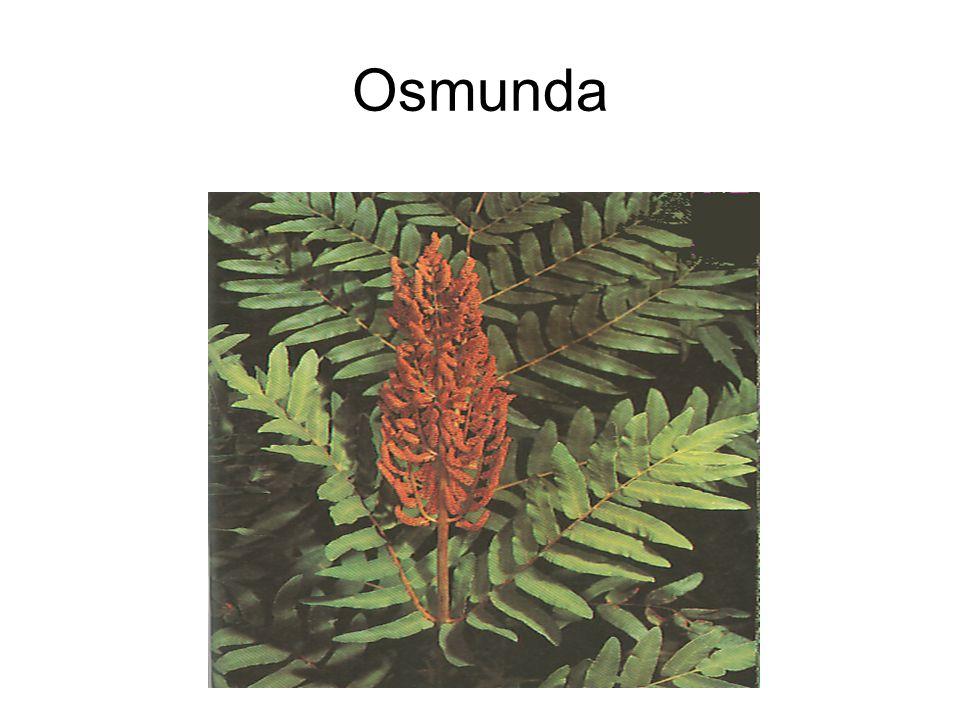 Osmunda