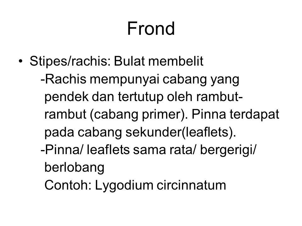Frond Stipes/rachis: Bulat membelit -Rachis mempunyai cabang yang pendek dan tertutup oleh rambut- rambut (cabang primer). Pinna terdapat pada cabang