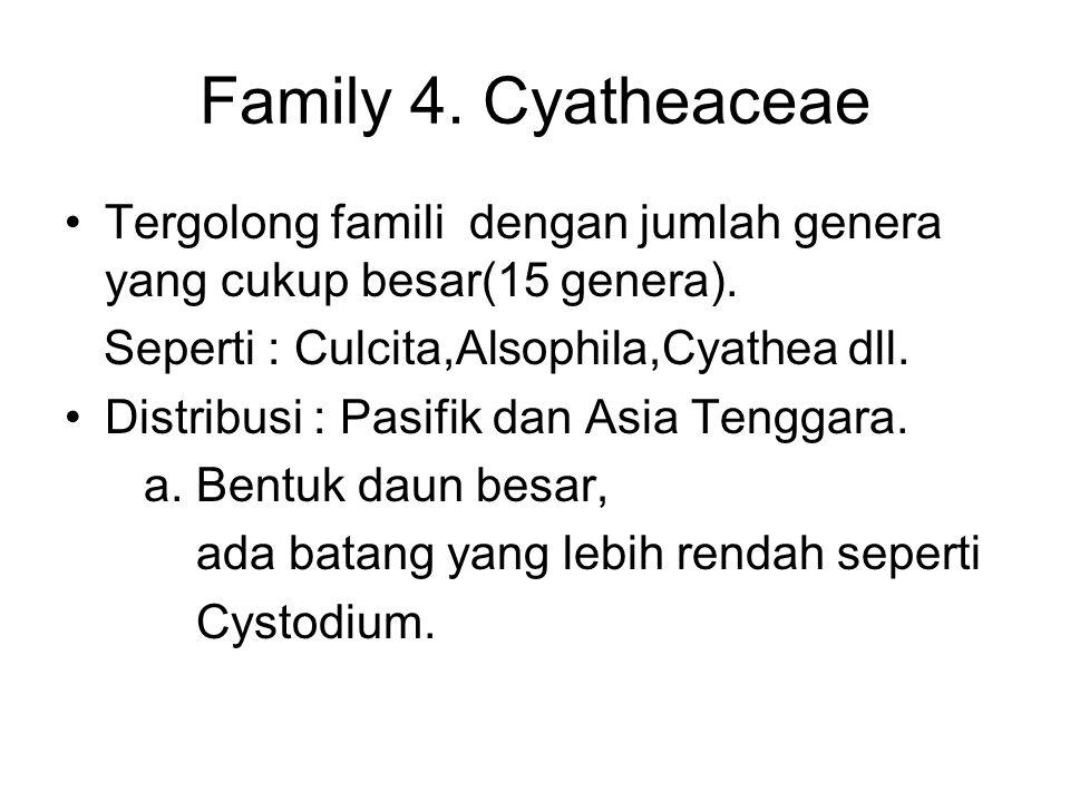 Family 4. Cyatheaceae Tergolong famili dengan jumlah genera yang cukup besar(15 genera). Seperti : Culcita,Alsophila,Cyathea dll. Distribusi : Pasifik