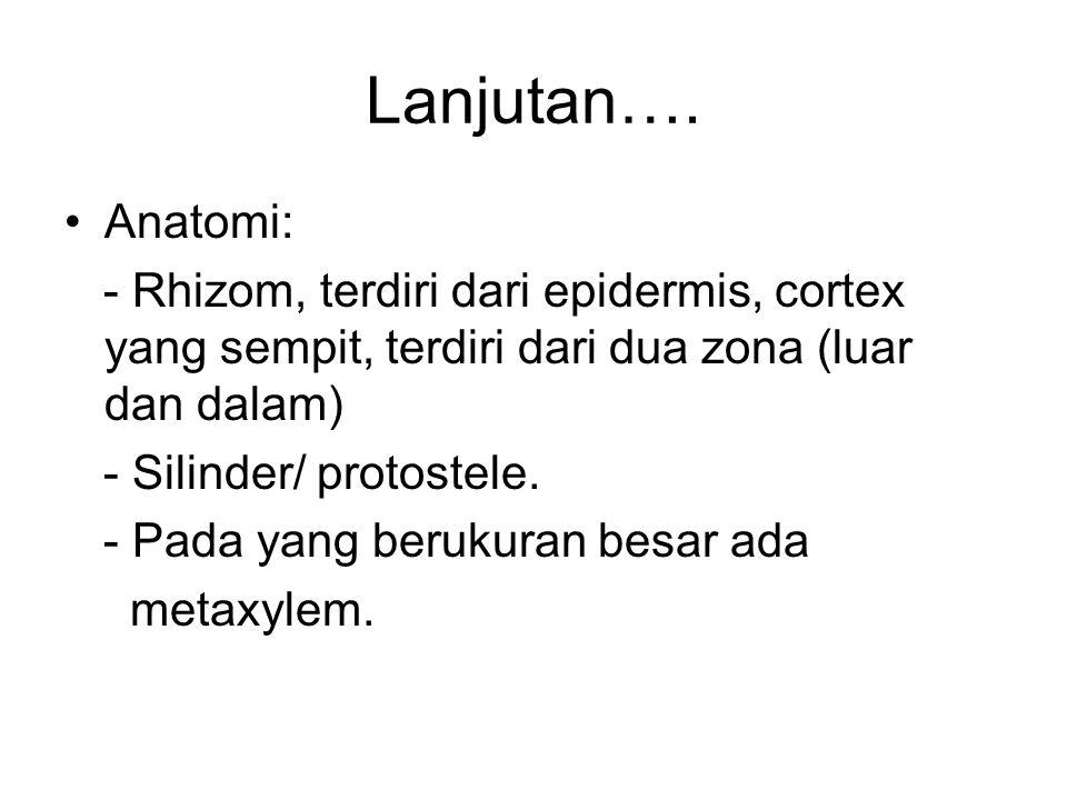 Lanjutan…. Anatomi: - Rhizom, terdiri dari epidermis, cortex yang sempit, terdiri dari dua zona (luar dan dalam) - Silinder/ protostele. - Pada yang b