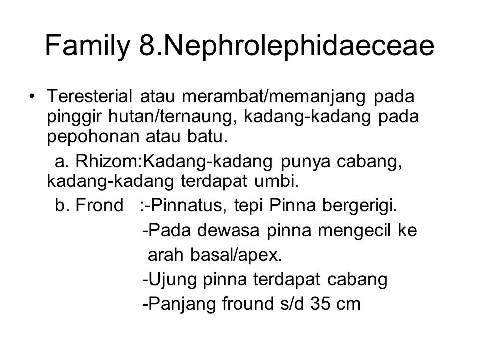 Family 8.Nephrolephidaeceae Teresterial atau merambat/memanjang pada pinggir hutan/ternaung, kadang-kadang pada pepohonan atau batu. a. Rhizom:Kadang-