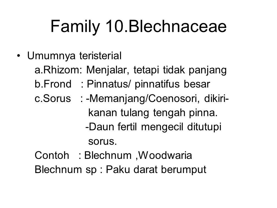 Family 10.Blechnaceae Umumnya teristerial a.Rhizom: Menjalar, tetapi tidak panjang b.Frond : Pinnatus/ pinnatifus besar c.Sorus : -Memanjang/Coenosori