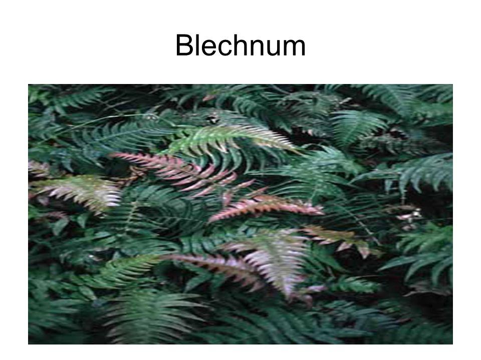 Blechnum