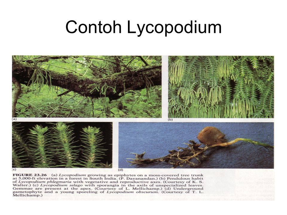 Lanjutan…… 6.Sporofil terdapat pada daerah yang agak rapat,daun mirip: strobilus.