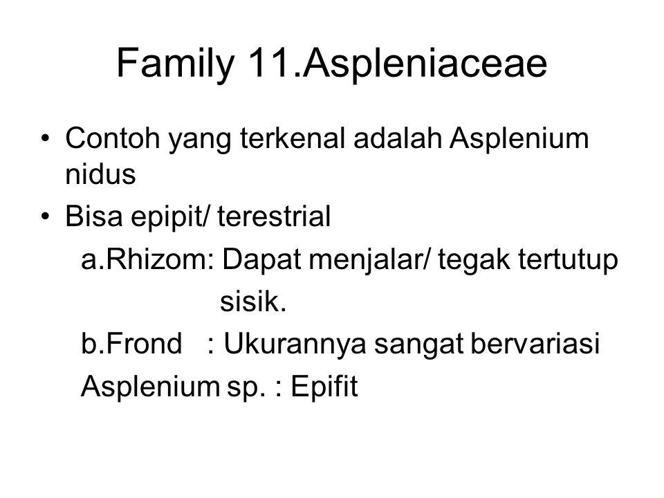 Family 11.Aspleniaceae Contoh yang terkenal adalah Asplenium nidus Bisa epipit/ terestrial a.Rhizom: Dapat menjalar/ tegak tertutup sisik. b.Frond : U
