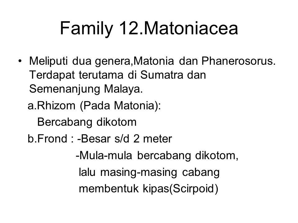 Family 12.Matoniacea Meliputi dua genera,Matonia dan Phanerosorus. Terdapat terutama di Sumatra dan Semenanjung Malaya. a.Rhizom (Pada Matonia): Berca