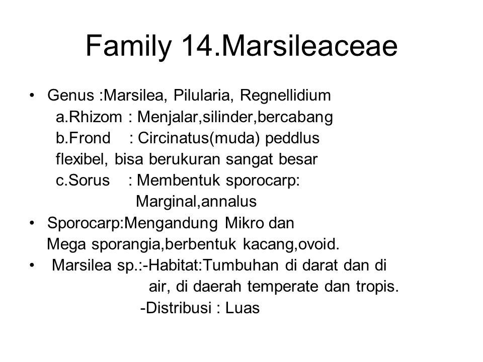Family 14.Marsileaceae Genus :Marsilea, Pilularia, Regnellidium a.Rhizom : Menjalar,silinder,bercabang b.Frond : Circinatus(muda) peddlus flexibel, bi