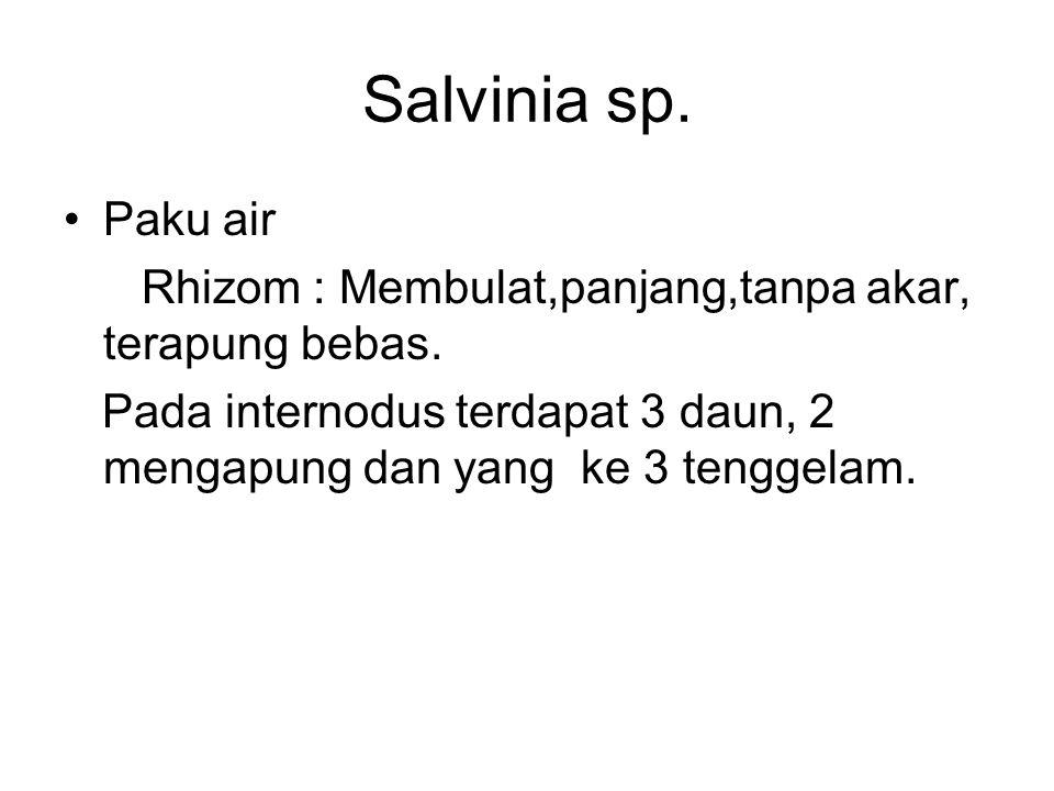 Salvinia sp. Paku air Rhizom : Membulat,panjang,tanpa akar, terapung bebas. Pada internodus terdapat 3 daun, 2 mengapung dan yang ke 3 tenggelam.