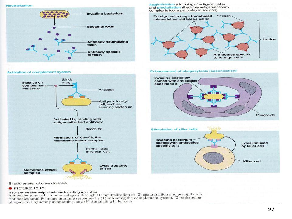 faal_imun/ikun/2006 28 Sistem Kekebalan Seluler Limfosit T spesifik untuk kekebalan terhadap infeksi virus & pengaturan pd mekanisme kekebalan.