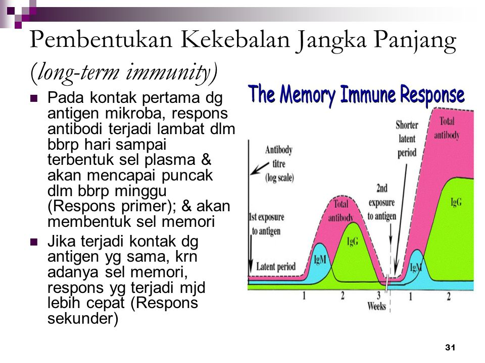 31 Pembentukan Kekebalan Jangka Panjang (long-term immunity) Pada kontak pertama dg antigen mikroba, respons antibodi terjadi lambat dlm bbrp hari sam