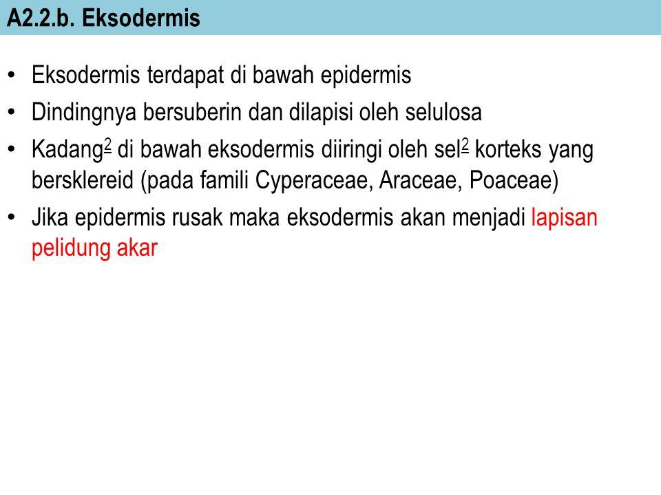 A2.2.b. Eksodermis Eksodermis terdapat di bawah epidermis Dindingnya bersuberin dan dilapisi oleh selulosa Kadang 2 di bawah eksodermis diiringi oleh
