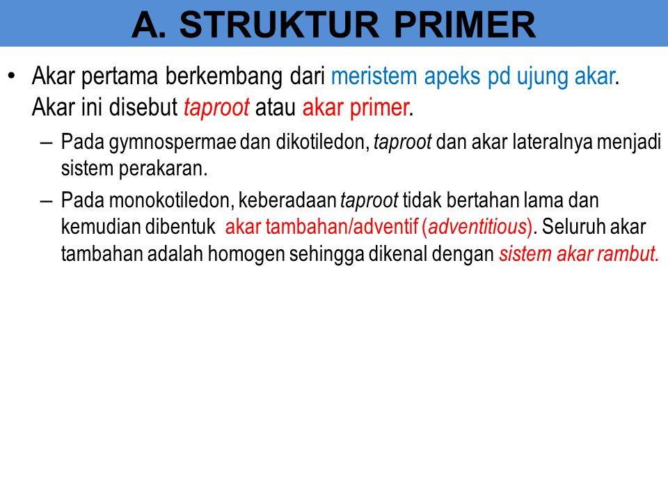 A. STRUKTUR PRIMER Akar pertama berkembang dari meristem apeks pd ujung akar. Akar ini disebut taproot atau akar primer. – Pada gymnospermae dan dikot