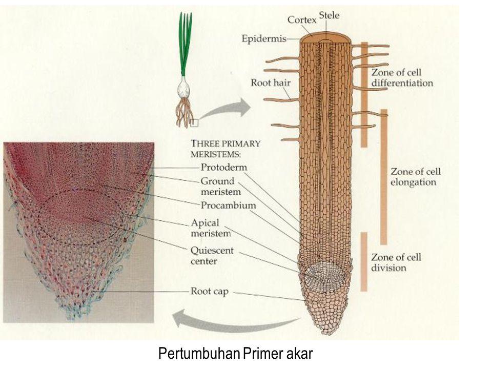 Pertumbuhan Primer akar