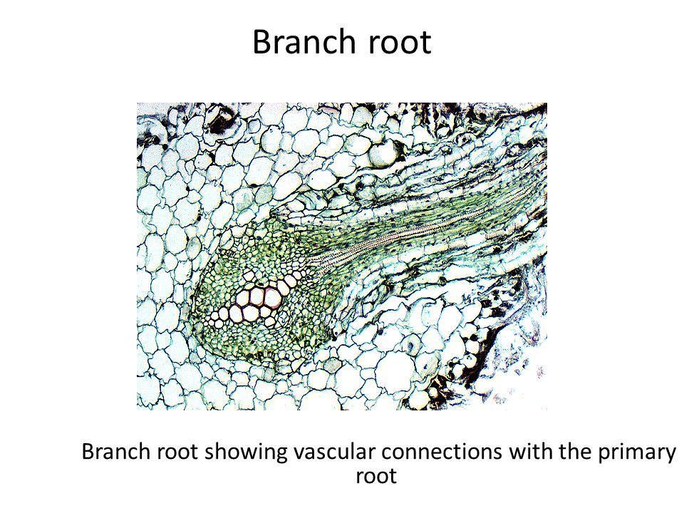 Branch root Branch root showing vascular connections with the primary root