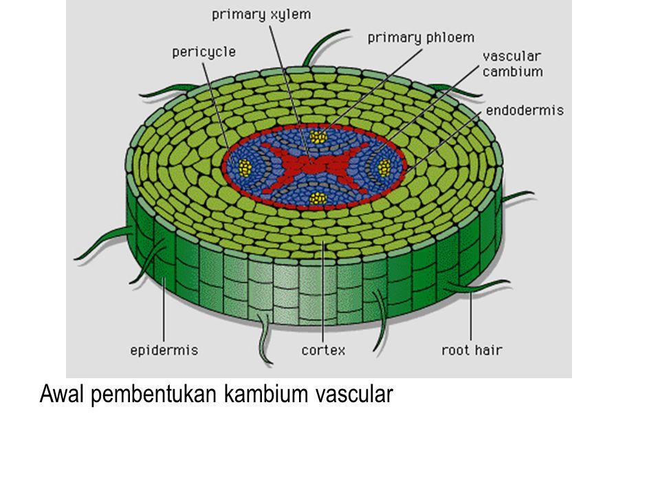 Awal pembentukan kambium vascular
