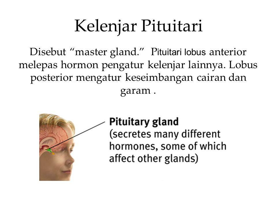 Kelenjar Pituitari Disebut master gland. P ituitari lobus anterior melepas hormon pengatur kelenjar lainnya.