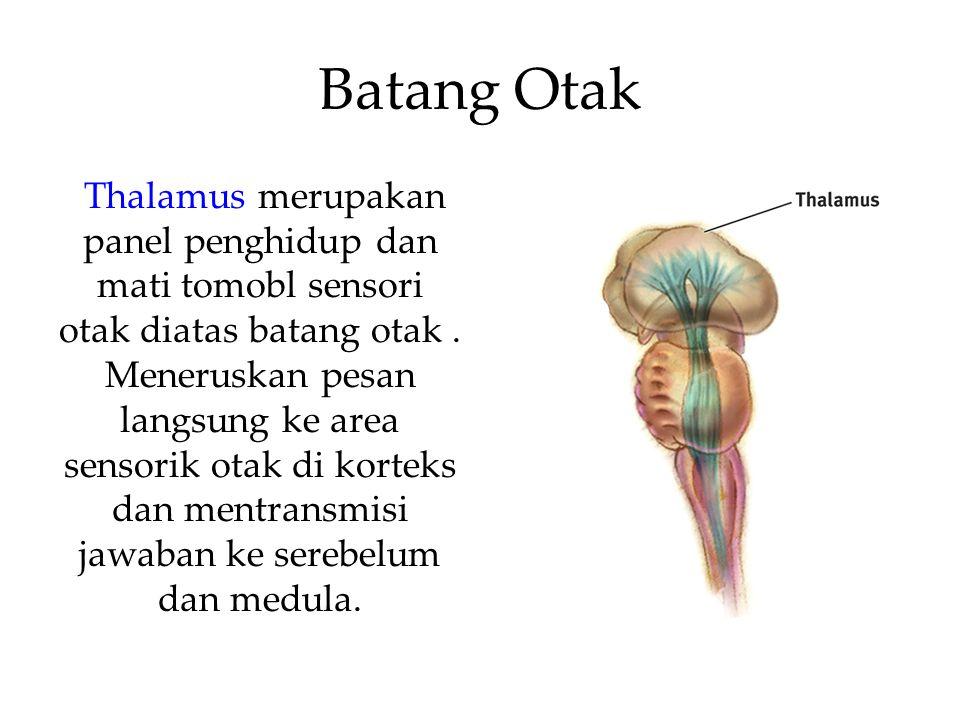 Batang Otak Thalamus merupakan panel penghidup dan mati tomobl sensori otak diatas batang otak.