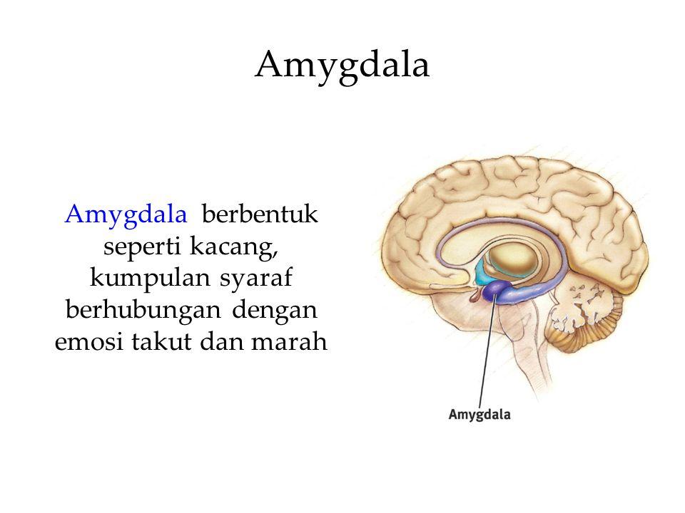 Amygdala Amygdala berbentuk seperti kacang, kumpulan syaraf berhubungan dengan emosi takut dan marah