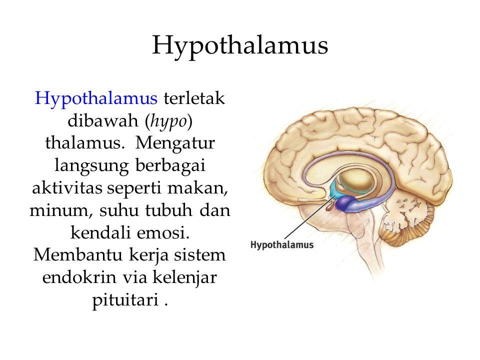 Hypothalamus Hypothalamus terletak dibawah (hypo) thalamus. Mengatur langsung berbagai aktivitas seperti makan, minum, suhu tubuh dan kendali emosi. M