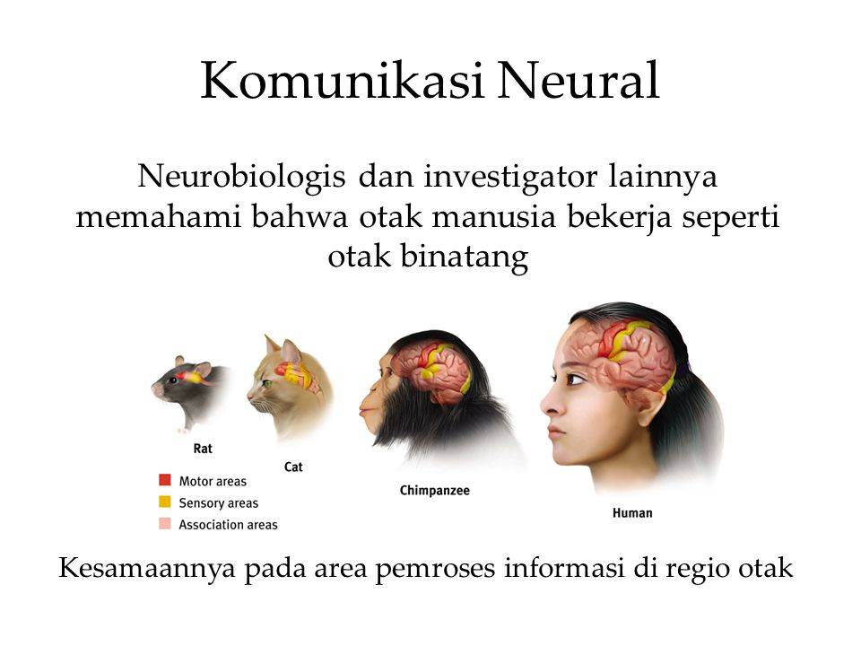 Komunikasi Neural Kesamaannya pada area pemroses informasi di regio otak Neurobiologis dan investigator lainnya memahami bahwa otak manusia bekerja seperti otak binatang