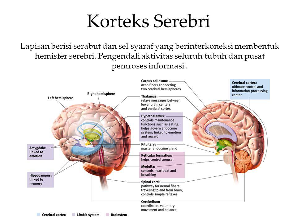 Korteks Serebri Lapisan berisi serabut dan sel syaraf yang berinterkoneksi membentuk hemisfer serebri. Pengendali aktivitas seluruh tubuh dan pusat pe