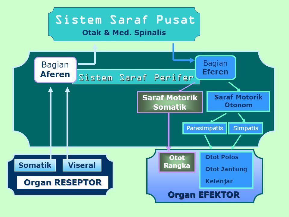 Sistem Saraf Perifer Sistem Saraf Pusat Otak & Med. Spinalis Bagian Aferen SomatikViseral OrganRESEPTOR Organ RESEPTOR Otot Rangka Organ EFEKTOR Bagia