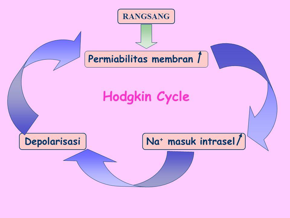 RANGSANG Na + masuk intrasel Depolarisasi Permiabilitas membran Hodgkin Cycle